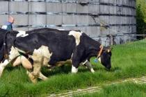 de koeien gaan de weide in